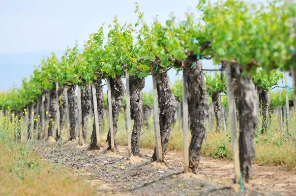 Wine vineyard in Temecula, California